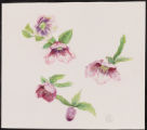 Grape Galaxy Lenten Rose