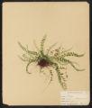 Asplenium trichomanes, L.