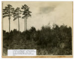 """A group of seed trees, known locally as the """"Four Pines""""."""