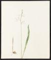 Calopogon pulchellus, R. Br.