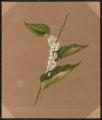 Cuscuta gronovii, Willd.