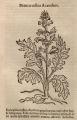 Acanthus sp.