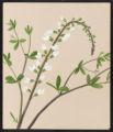 Baptisia leucantha, Torr. & Gr.