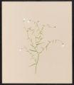 Campanula aparinoides, Pursh.