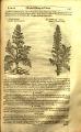 Acanthus spinosus (Acanthaceae)