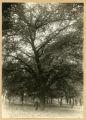 American Elm