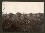Carex virgata, Phormium