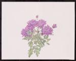 Chrysanthemum 'Grape Glow'