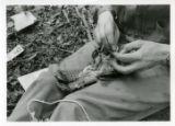 Applying identification leg band to ruffed grouse