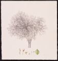 American Elm - oldest elm at the Minnesota Landscape Arboretum