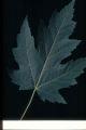 Acer saccharinum