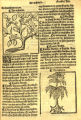 Abies sp. (Pinaceae)