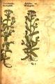 Achillea millifolium (Compositae)