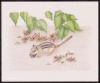 Eastern Chipmunk and American Hazelnut