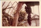 Banana tree in Glensheen greenhouse