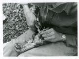 Applying identification leg band to ruffed grouse (2 of 3)