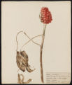 Arisaema triphyllum, Torr.