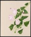 Calystegia sepium, R. Br.