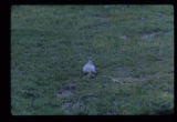 Adult Mountain Plover brooding chick