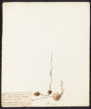 Apios tuberosa, Moench.