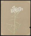 Anaphalis margaritacea, Benth. & Hook.