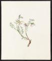 Astragalus caryocarpus