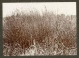 Leptocarpus simplex and Phormium