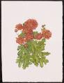 Chrysanthemum 'Burnt Copper'