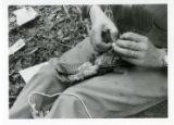 Applying identification leg band to ruffed grouse (3 of 3)