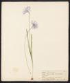 Brodiaea Douglasii