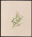 Arenaria lateriflora, L.