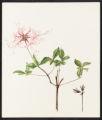 Azalea nudiflora, L.
