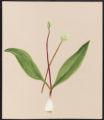 Allium tricoccum, Ait.