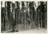 70 year old jack pine with heavy growth of brush underneath, part of this stand cut in 1944, Compartment 37