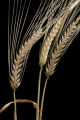 2-row barley at the University of Minnesota's Northwest Research and Outreach Center, Crookston.