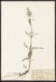 Brunella vulgaris L.