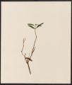 Andromeda polifolia, L.