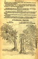 Acer sp. (Aceraceae)