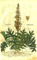 Acanthus sp. (Acanthaceae)
