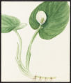 Calla palustris, L.