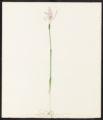 Arethusa bulbosa, L.