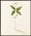 Asclepias quadrifolia, Jacq.