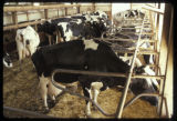 """1960s holstein genetics, """"control herd"""" compared with contemporary animal."""