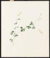 Baptisia tinctoria, R. Br.