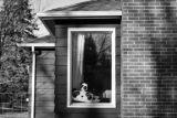 A group of stuffed bears in a window for a neighborhood bear hunt