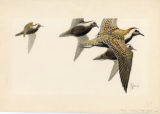 American Golden Plovers