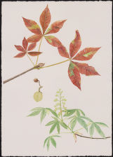 Autumn Splendor Horse Chestnut