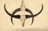 Buffalo Heads in Assam.