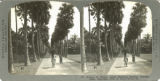 Avenue of palmyra palms, Botanical Gardens, Calcutta