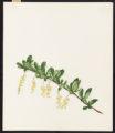 Berberis vulgaris, L.